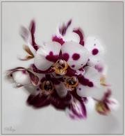 IMG_1538_a-Edit-Edit-Edit Orchidea 1