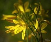 IMG_1784 žlutá lepší