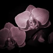 IMG_4753_lila orchidej
