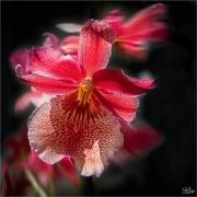 _O2A5470 červ orchidej 2