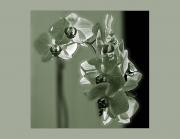 img 1515 BaW Four Leaf_A