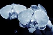 IMG_4737 orchidej z Arch 001_2009_02_08