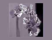 img 1515 BaW Purple_b