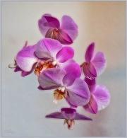 IMG_1542_a-Edit-Edit Orchidea 2
