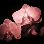 IMG_4753starorůž Orchidej